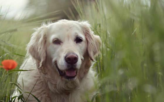 tapety, het, hintergrundbild, darmowe, honden, flickr, омь,