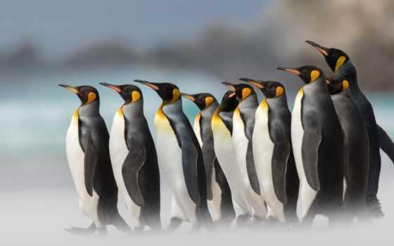 пингвины, iphone, пингвин,