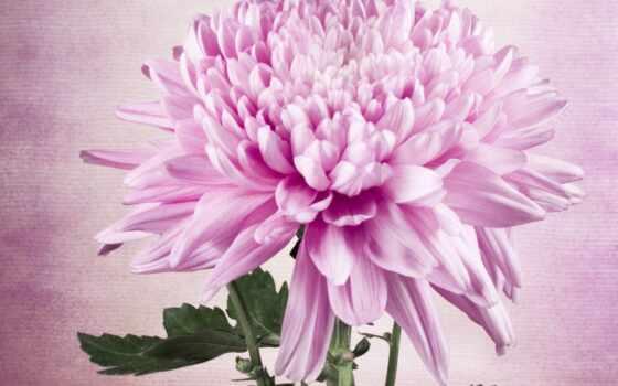 цветы, chrysanthemum, drawing, astra, neprihotlivyi, lotus, роза, mural