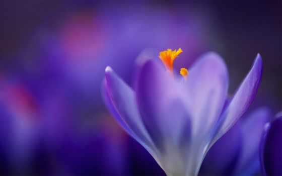 фиолетовые, цветы, макро
