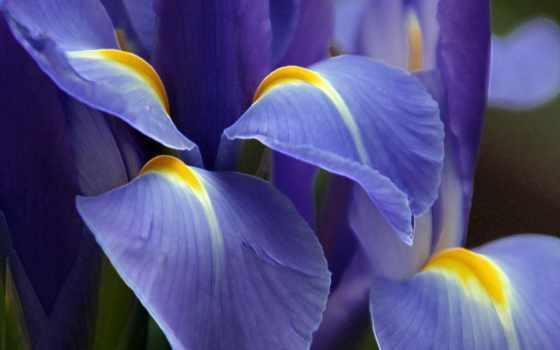 iris, высокого, качества, нашем, сайте, выберите, этого, нужный, таблице, ирисы, цветы,