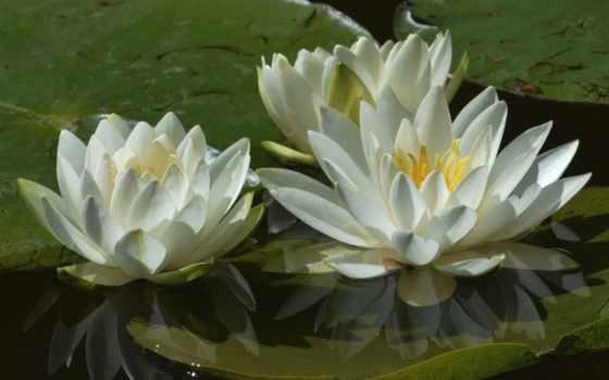 нимфея, лилии, трио, макро, лепестки, водяные, water, white,