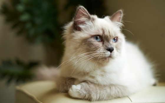 zhivotnye, фото, print, плакат, around, кошки, пушистые, funny, дневник, сиамские,