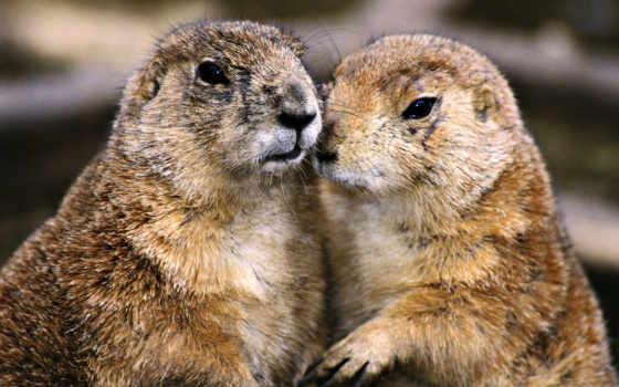 сурьки, сурок, marmota, сурков, взгляд, зоопарке, байбаки, while,