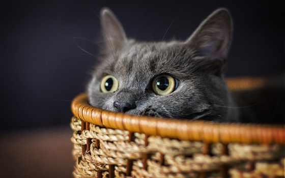 кошки, заставки, кот, glaza, корзинке, серый, ушки, прячется,