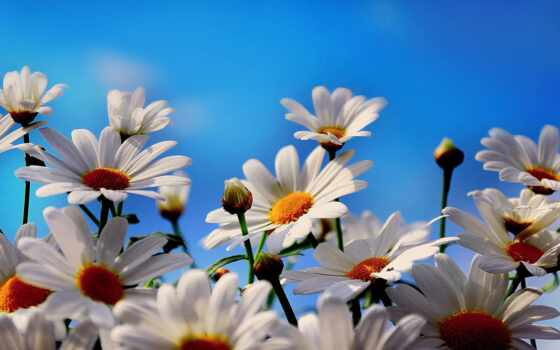 коллекция, ромашка, cvety, макро, daisy