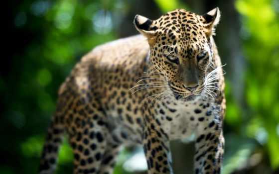 leopard на природе
