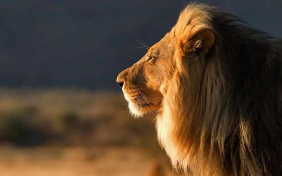 lion, телефон, profile