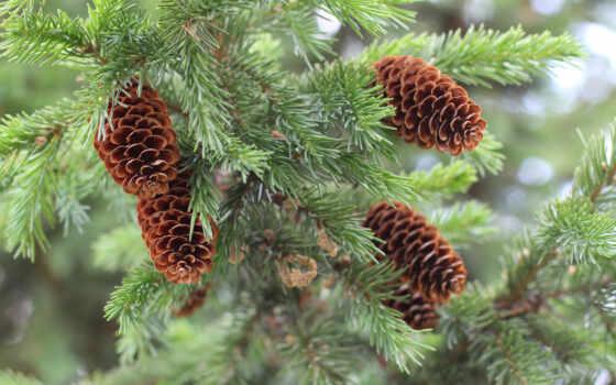 pine, apple, дерево, oxygen, который, есть, shape, природа, cone, active