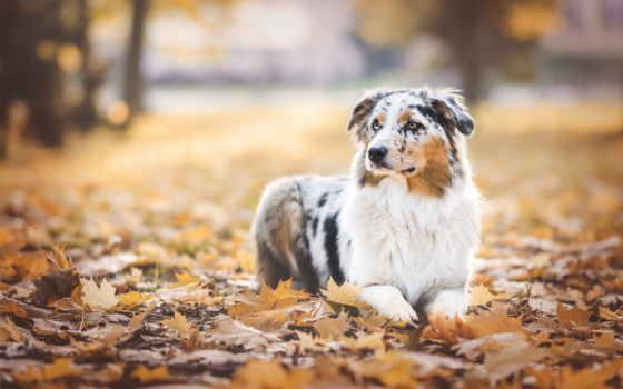 овчарка, австралийская, собака, ipad, собаки, aussi, zhivotnye, осень, browse,