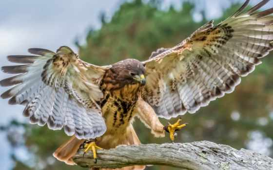 клюв, ноутбука, планшета, телефона, крылья, птица, hawk, desktop,