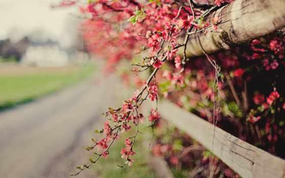 весна, cvety, розовый, кусты, заставки, цветущие, веточка, забор, айва, trick,