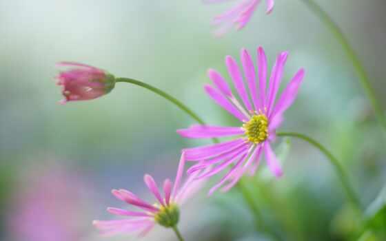 цветы, красивый, daisy, картинка, фон, cute, девушка, модель, качество, розовый