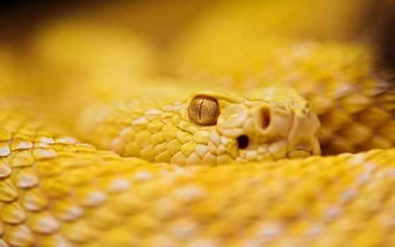 жёлтая гремучая змея