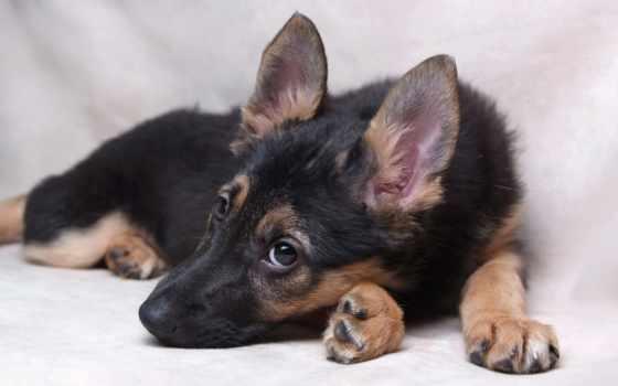 owczarek, niemiecki, szczeniak, pies, tapety,