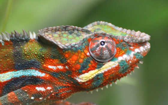 chameleon, ящер, branch,