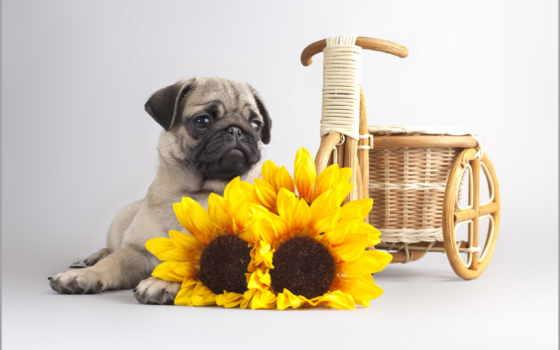мопс, fondos, pantalla, imágenes, perro, free, animalia, gratis, pugs,