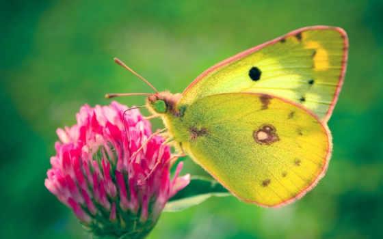 бабочка, цветке, бабочки, rub, заказать, клевера, бабочек,