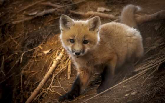 animal, лисенок, фокс, baby, land, cute, wild, животные, little