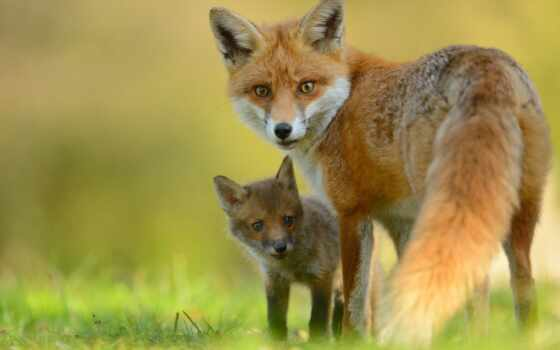 фокс, animal, lisenka, детёныш, взгляд, лисенок