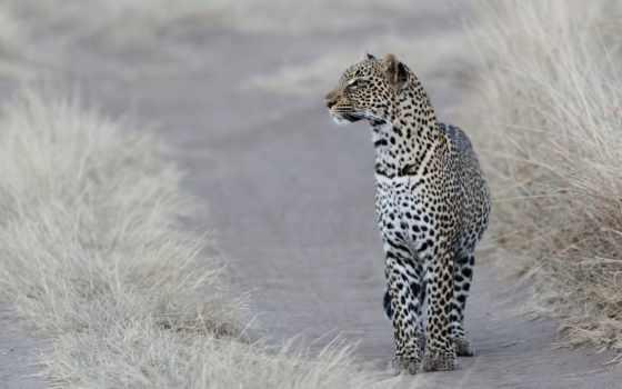 fondos, leopardos,