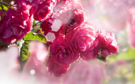 flowers, цветы, розы