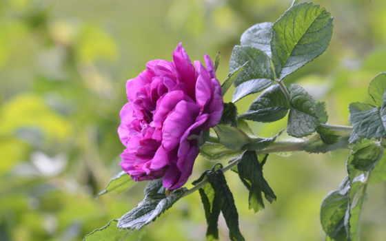 розовый, листья, качества