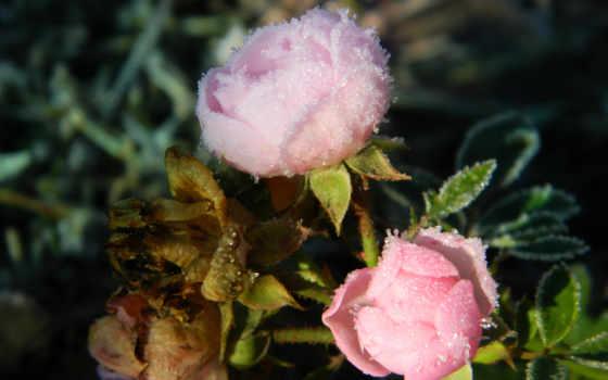 types, plants, иней, various, landscape, нояб, full, rózsa,