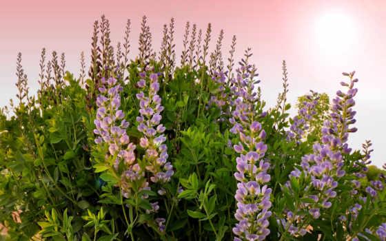 cvety, flowers, free, lupines, flora, растение, люпин,