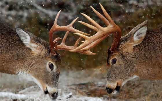 олени, winter, лес, рога,