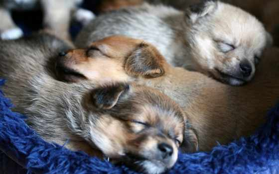 replacement, собаки, nacimiento, las, щенки, perros, del, мар,
