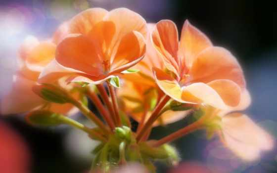cvety, оранжевые, фотографий, оранжевый, боке, макро, цветы, качества, высоком, лепестки, роза,