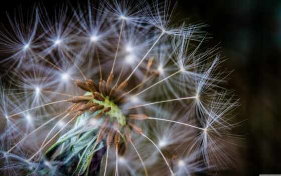 одуванчик, устройство, seed, духовный, фон, aero, mobile, кот, firework
