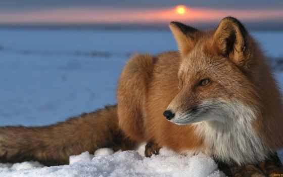лиса, животные, рыжая