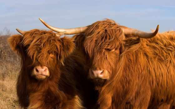 cow, шотландская, высокогорная