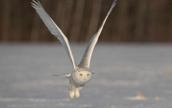 zhivotnye, zima, сова, anyprint, полярная, птица, priroda,