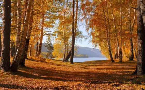 лес, осень, березовая, природа, березы,