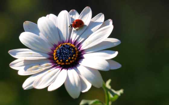 cvety, ipad, красивые, лепестки, коровка, божья,