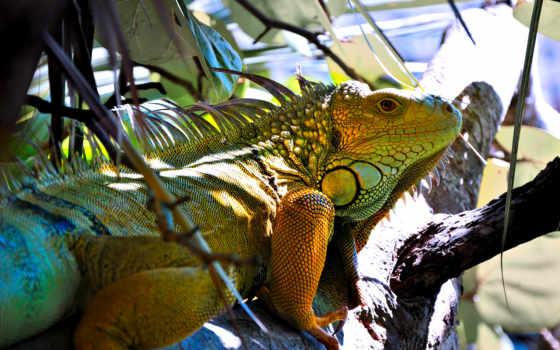 iguana, una, zhivotnye, puzzles, ящер,