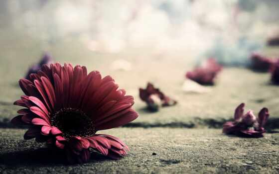 гербера, цветок
