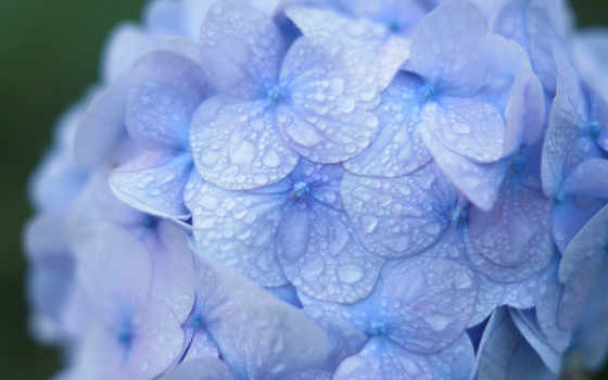 гортензия, макро, цветы
