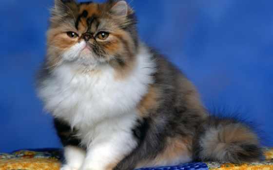 mount, кошек, this, красивые, persian, самые, кошки, rushmore,