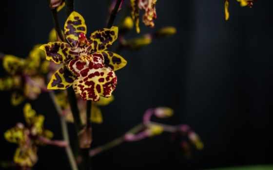 storczyk, tapety, цветы, tạo, czarne, orchidea, storczyki, imágenes,