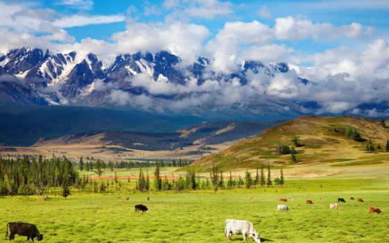 природа, zhivotnye, пастбище, красавица, горы, зелёный, долина, коровы, highlands, landscape,