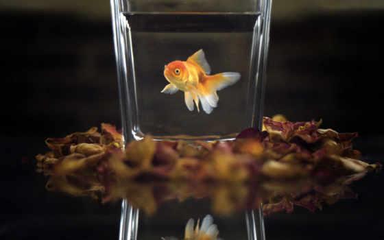 золотая, fish, желаний
