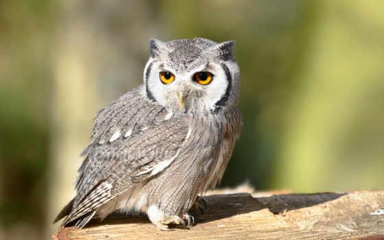 сова, филин, птица, browse, птицы, свет, хищник, совы, крылья, дерево,