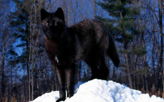 волк, черный