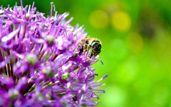 пчелы, лето, цветы, картинка, картинку,