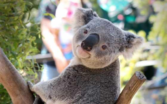 коала, широкоформатные