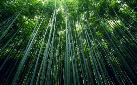 бамбук, лес, картинка, природа, стебли,